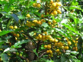 Bacupari: um fruto do Cerrado